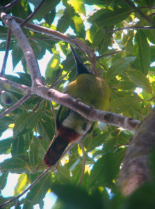 Image of Emerald Toucanet