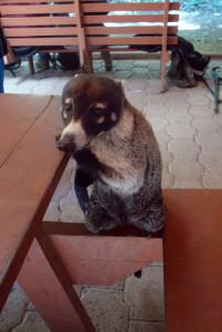 Image of a Coati