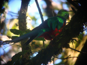 Image of Quetzal