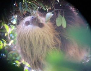 Image of Two Toed Sloth