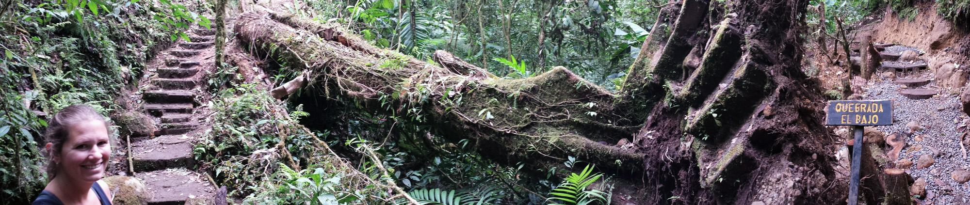 Image of fallen tree in Santa Elena