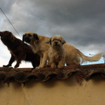 The only dogs to get mad at me in Peru. I guess they don't like being photographed. Fortunately, they were on the roof of a building and couldn't get to me.