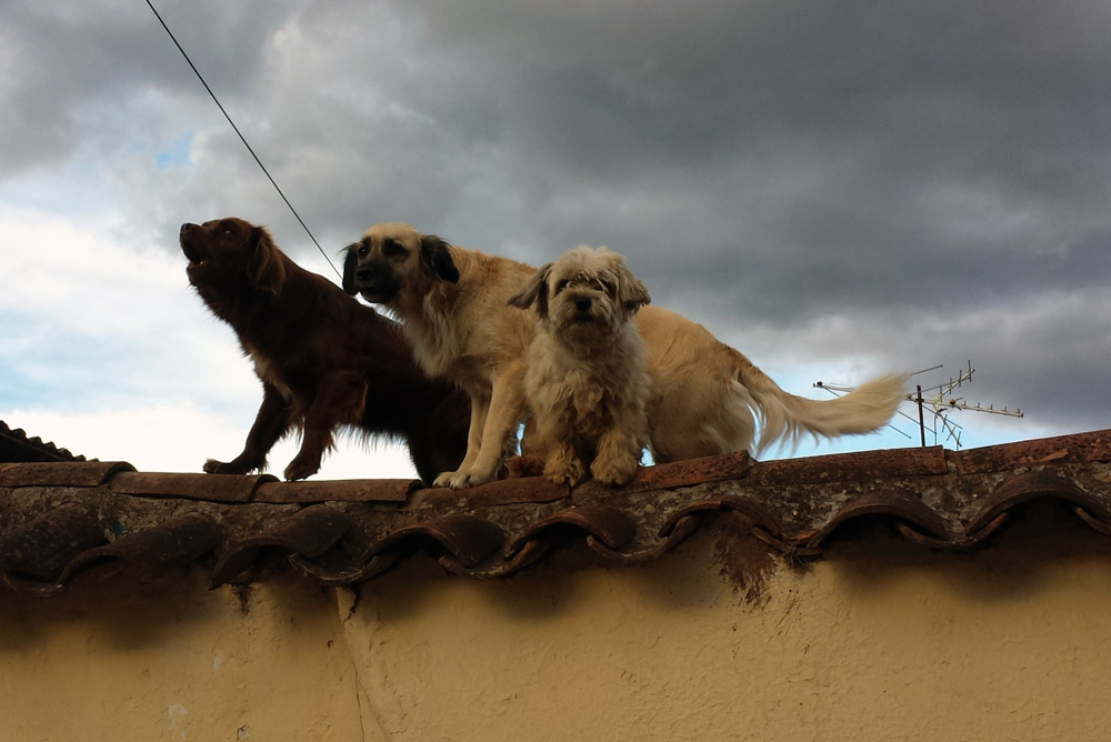 Image of dogs in Cusco