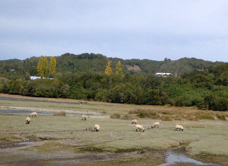 Image of sheep in Chiloe