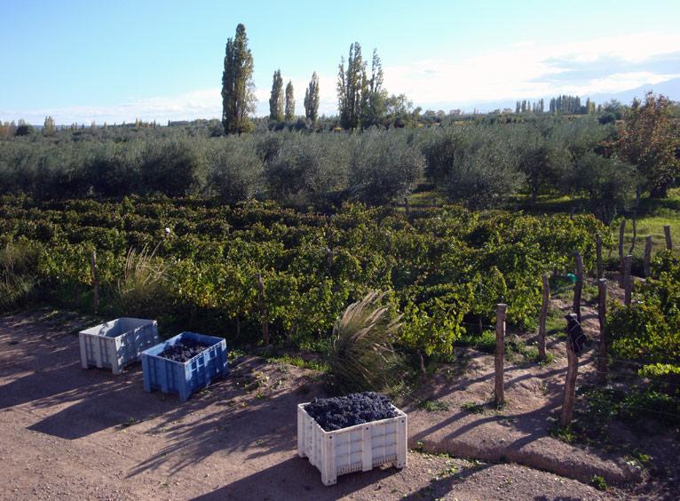 Image of Grapes at Mevi.