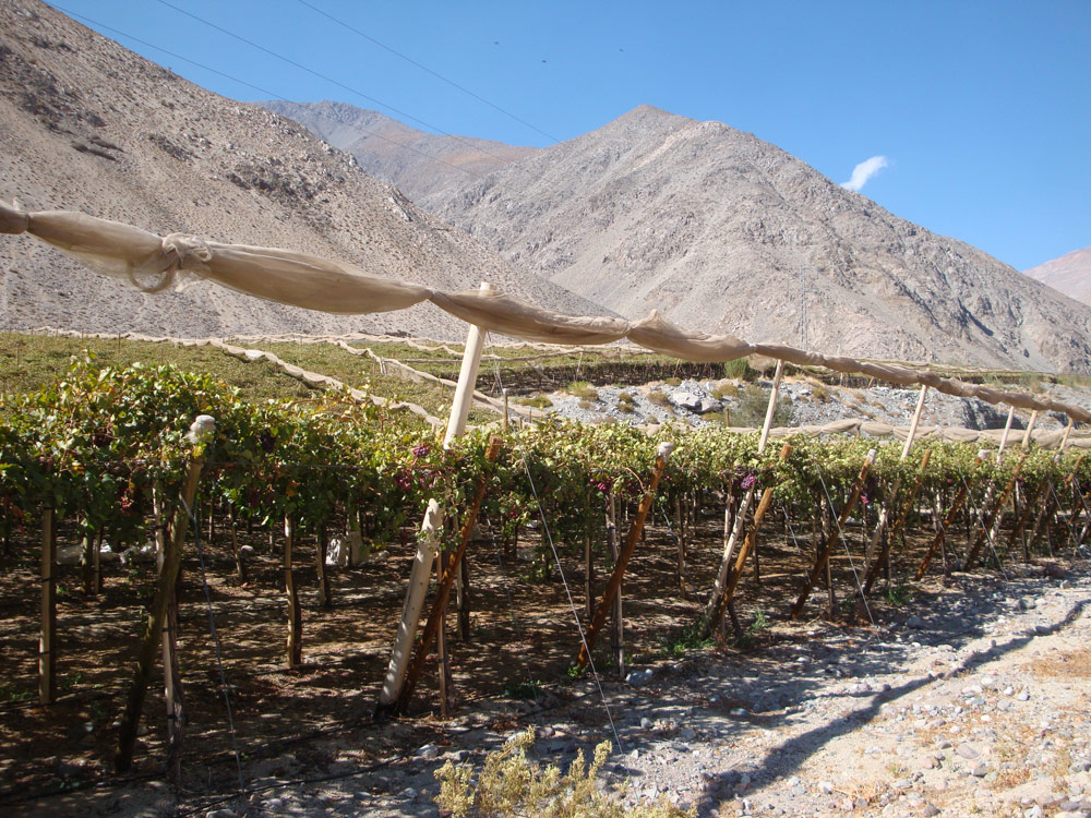 Image of Pisco grapes growing along Highway 41 east of Vicuña, Chile.