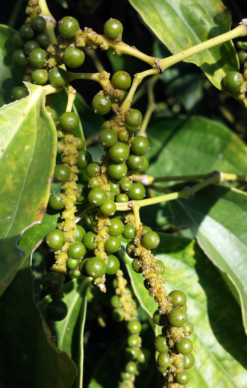 Image of green peppercorns