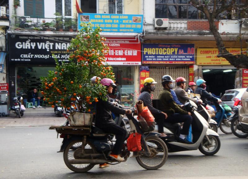 Image of Vietnam Kumquat Tree on a Scooter